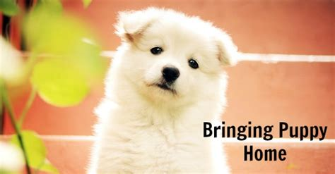 how to bring a puppy home bringing puppy home how to survive the month