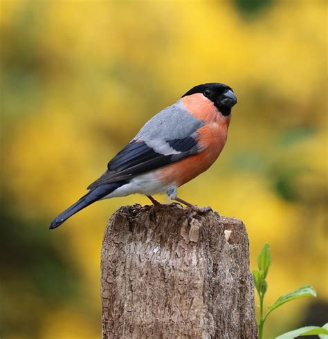 The Song Of The Bird bullfinch song bird garden 183 free photo on pixabay