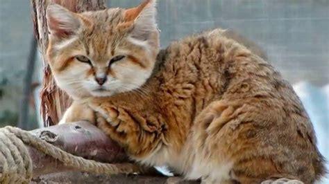 most beautiful breeds top 10 most beautiful cat breeds