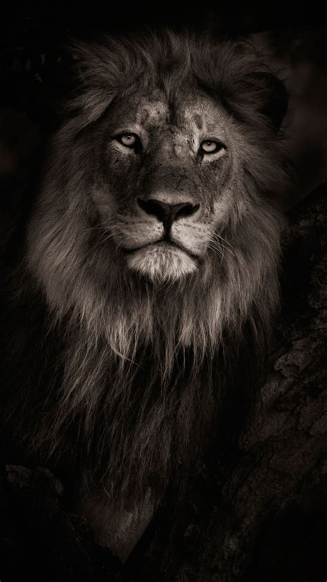 wallpaper iphone 7 lion best lion wallpaper for iphone 6 the best lion of 2017