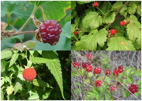 raspberry fruit tree http upload wikimedia org commons 8 86
