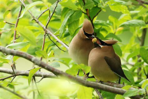 file cedar waxwing courtship jpg wikimedia commons