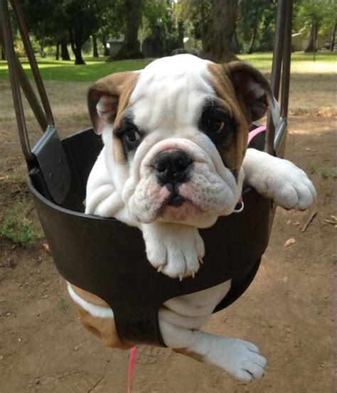 bulldog in a swing english bulldog baggybulldogs
