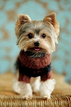 munchkin yorkies best ideas about tea cup yorkie puppies yorkie soo and yorkie pretty on