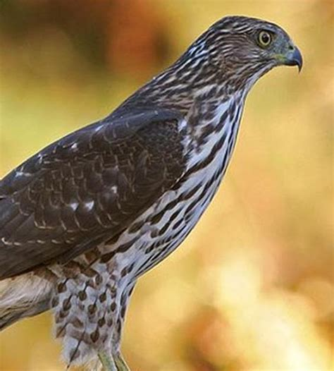 how to get rid of birds in backyard wild birds unlimited how can i get rid of the hawk in my