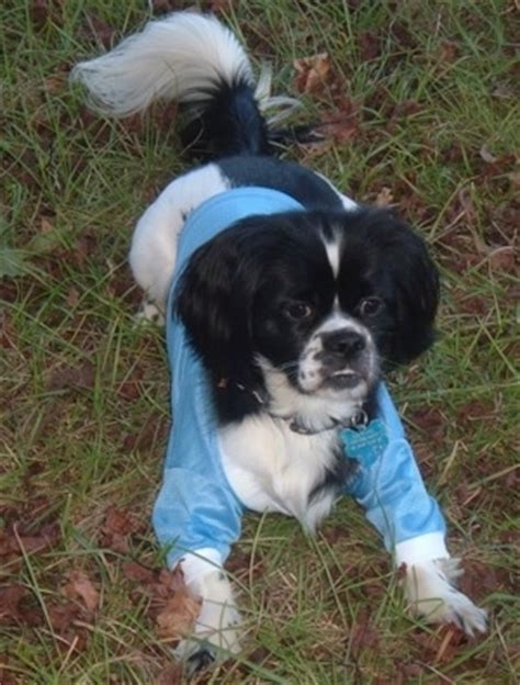 australian shepherd shih tzu mix grown black and white cocker spaniel grown pictures to pin on pinsdaddy