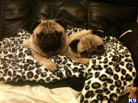 pugs for sale adelaide pug dogs for sale adelaide image search results