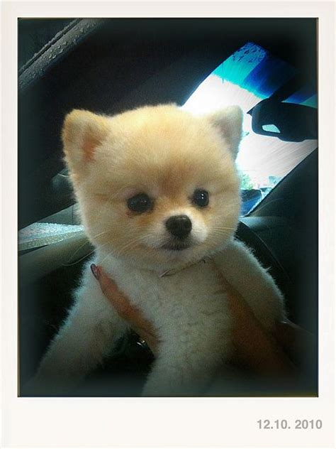 teddy pomeranian pomeranian teddy cut picture breeds picture