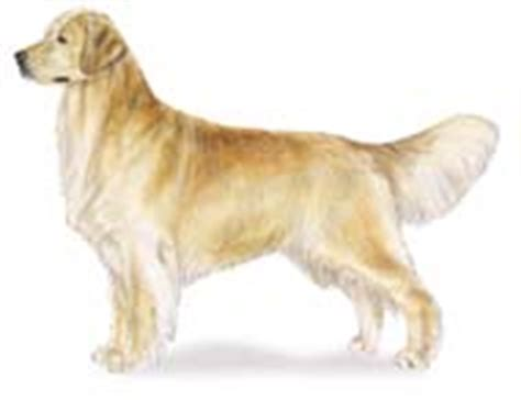 golden retriever grooming guide golden retriever american kennel club
