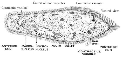 paramecium diagram paramecium search biological illustration