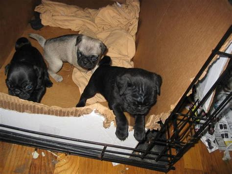pugs for sale in nh pug puppies for sale adoption from milford new hshire hillsborough adpost