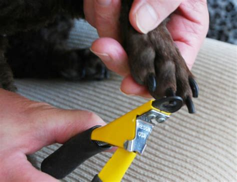 how to cut a dogs nails how to trim your s nails with no or fear