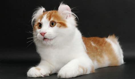 Keranjang Kucing Anggora kucing american curl si kucing lucu dengan kuping