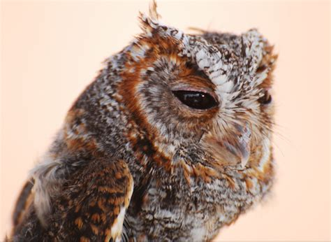 owls react to megafire and climate trends in central