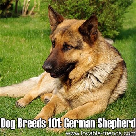 dogs 101 puppies breeds 101 german shepherd lovable friends