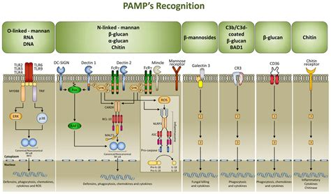 major pattern recognition receptors prrs and their frontiers damp signaling in fungal infections and