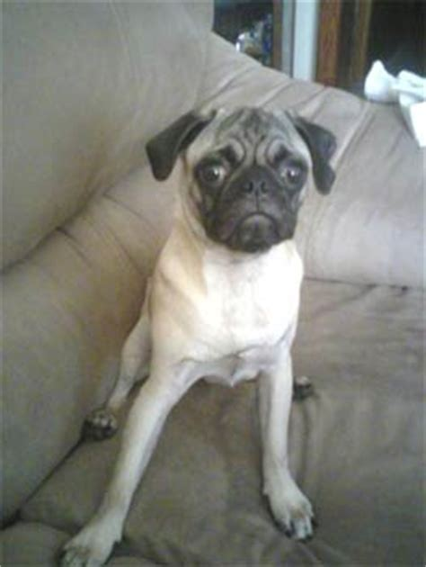 brown and white pug pug breed pictures and photos