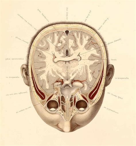 head cross section dream anatomy gallery wilhelm braune and c schmiedel