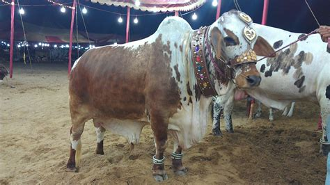 pakistani cow download urdu digest and thailand lottery latest