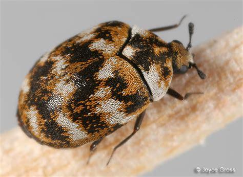little brown bugs in bed carpet beetle anthrenus verbasci bugguide net