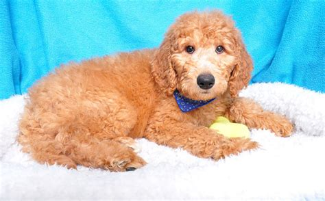 goldendoodle puppy nj goldendoodle mix breed summary shake a paw shake a