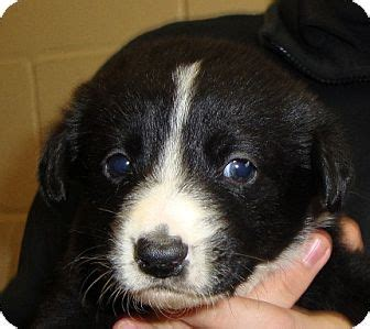 border collie golden retriever mix for sale golden border retriever information and pictures golden border breeds picture