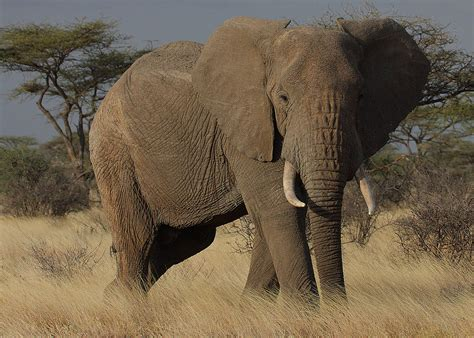 african elephant facts smithlhhsb122 kanchanat s
