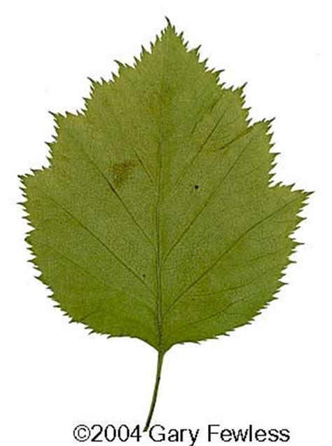trees  wisconsin crataegus pedicellata scarlet hawthorn