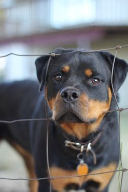 rottweiler health problems mimi the beagle other cool breeds
