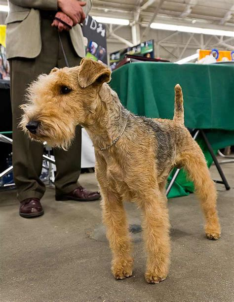 Airedale Terrier Dog Breed Pictures, Photos, & Images