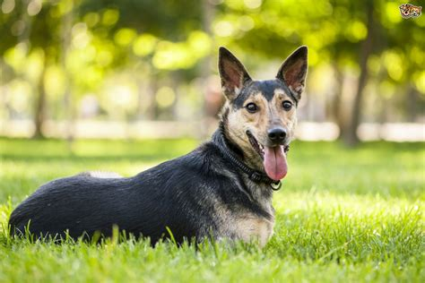 treating allergies in dogs skin allergies in dogs promising new treatment available pets4homes