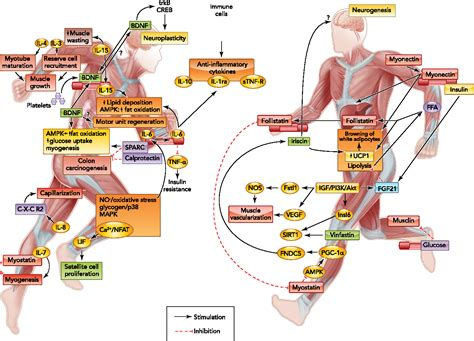 Figure 2 From Epidemiological Evidence I Exercise