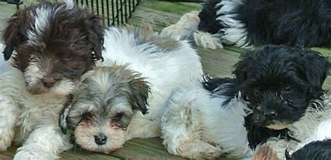 havanese breeders md time to purchase your havanese puppy for havs of havre de grace