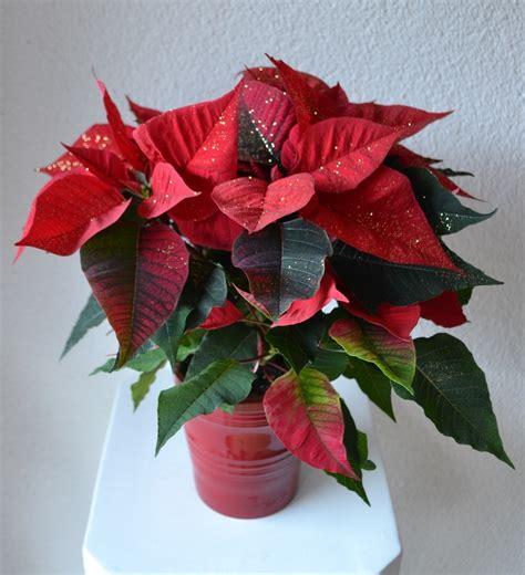 Weihnachtsstern Pflegen Wohnung by Weihnachtsstern Wohnen Homegate Ch