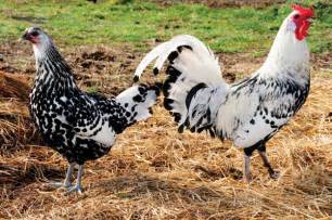 Rooster bantam chickens breeds on different breeds of roosters game