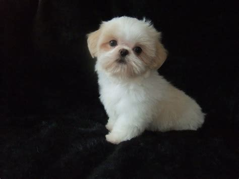 white imperial shih tzu breeders view advert we are karashishi white imperial shih tzu puppies