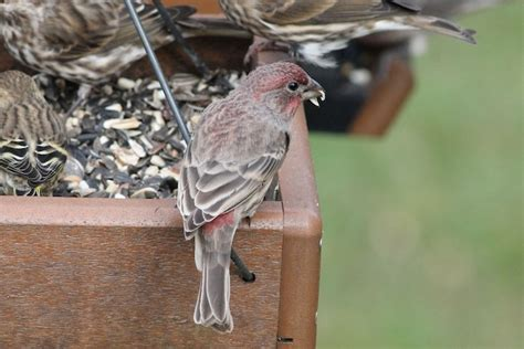 house finch food difference between house finch and purple finch backyard
