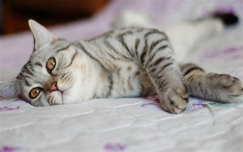 katze pinkelt auf bett tiger katze auf dem bett hintergrundbilder tiger katze