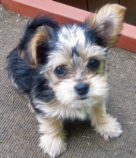 yorkie poo and chihuahua mix black maltese yorkie mix