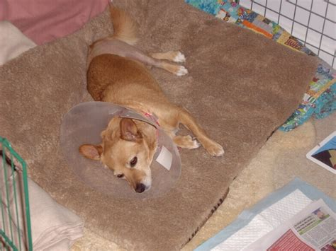 acl surgery for dogs knee ligament repair surgery for small dogs