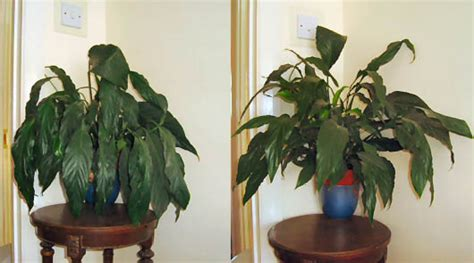 Houseplants That Don T Need Light by Peace Lily Plant Spathiphyllum Our House Plants