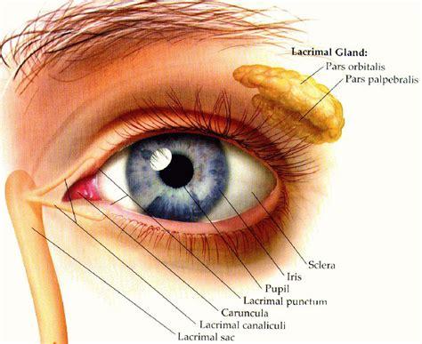 diagram of human eye eyech3 h html