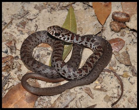 southern black racer florida backyard snakes