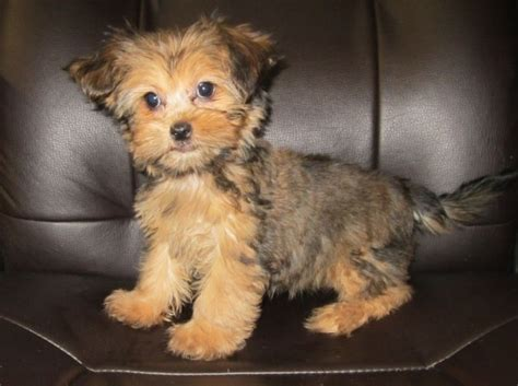 shorkie haircuts 82 best images about shorkies on pinterest dog wedding