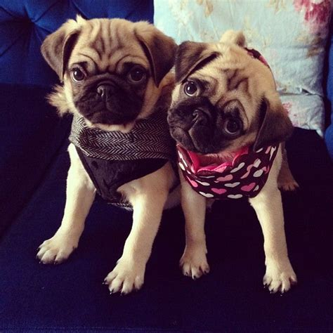 amazing pug 20 things all pug owners must never forget the last one brought me to tears