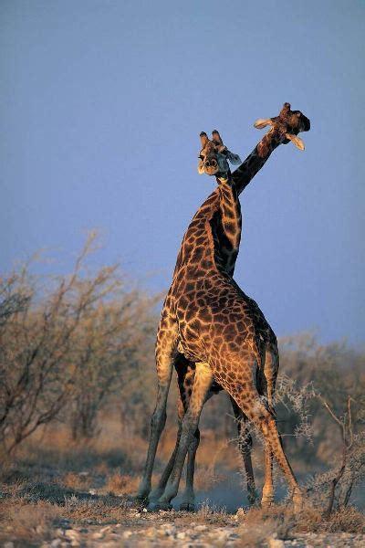 imagenes de jirafas enamoradas fotos de amor regalando felicidad