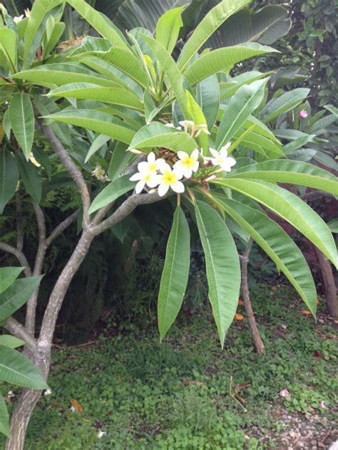 fragrant tropical plants 1000 images about tropical plants on gardens