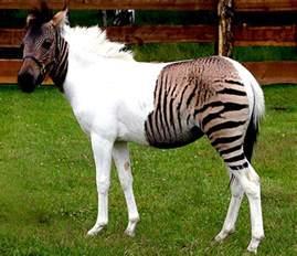 Eclyse das wundersch 246 ne wei 223 e zebra pferdchen mit den beiden