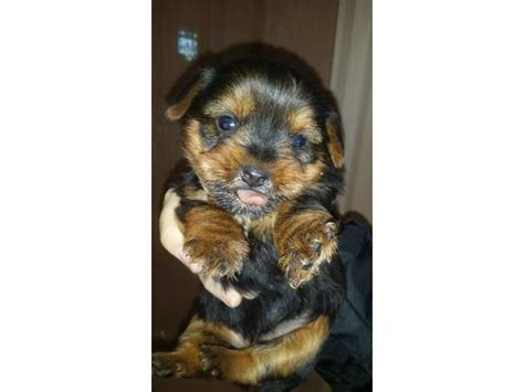yorkie puppies for sale pretoria teacup yorkie puppies pretoria tshwane puppies for sale