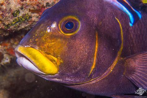 barred rubberlip facts  photographs seaunseen